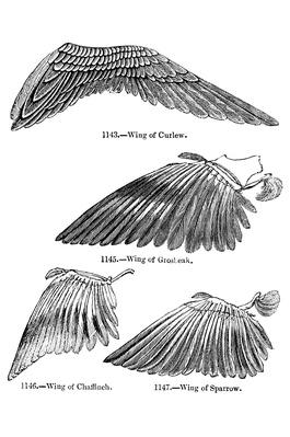 Bird Wing Illustrations | Plants and Animals