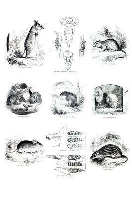 Mouse Illustrations | Plants and Animals