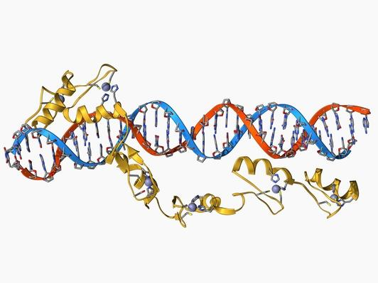 Transcription factor and ribosomal RNA | Science and Technology