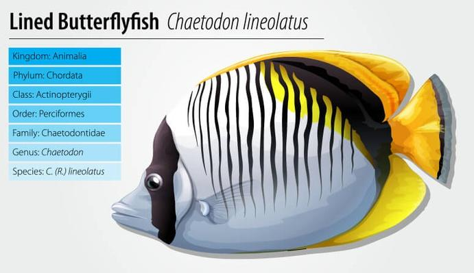 Lined butterflyfish | Plants and Animals