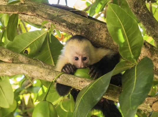 White faced capuchin | Animals, Habitats, and Ecosystems