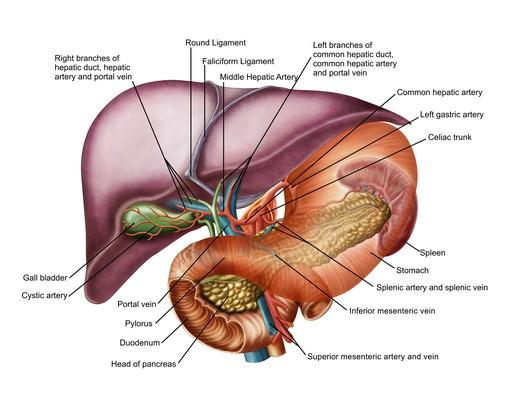 Anatomy of liver, antero-visceral view | Science and Technology