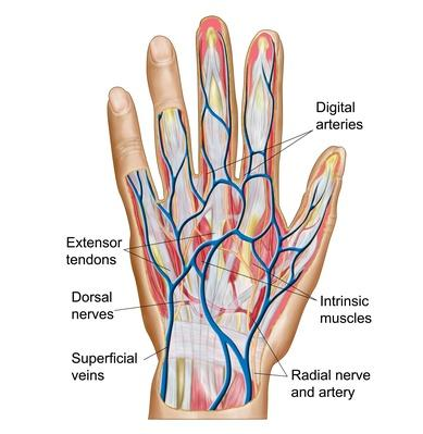 Anatomy of back of human hand | Science and Technology