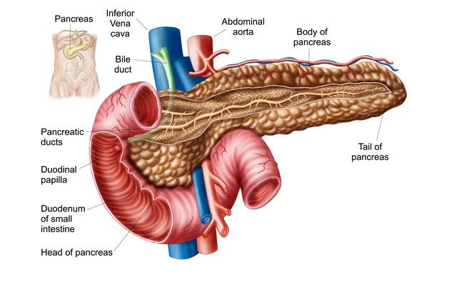 Anatomy of pancreas | Science and Technology