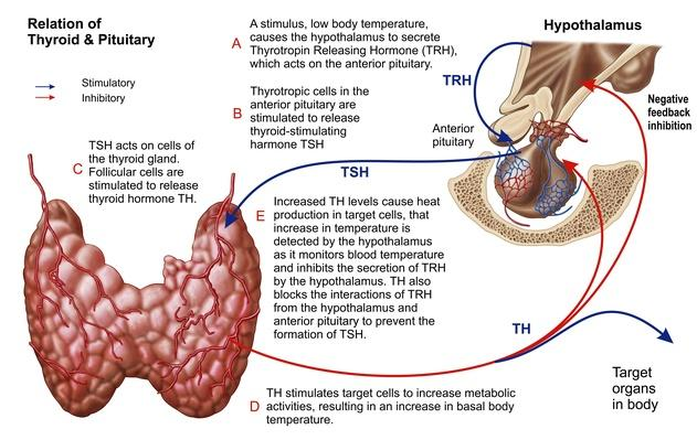Relation of thyroid and pituitary gland   Science and Technology