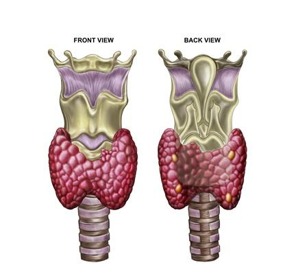 Anatomy of thyroid gland with larynx & cartilage | Science and Technology