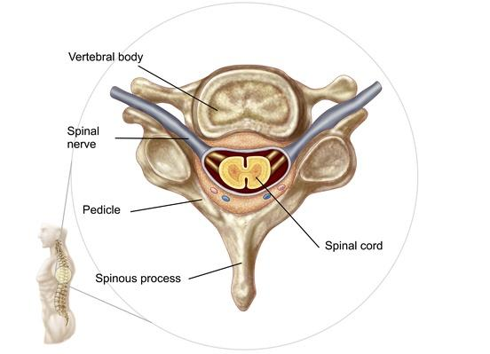 Anatomy of human vertebra | Science and Technology