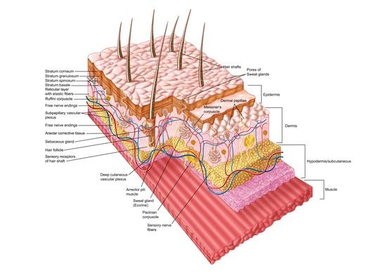 Anatomy of the human skin | Science and Technology