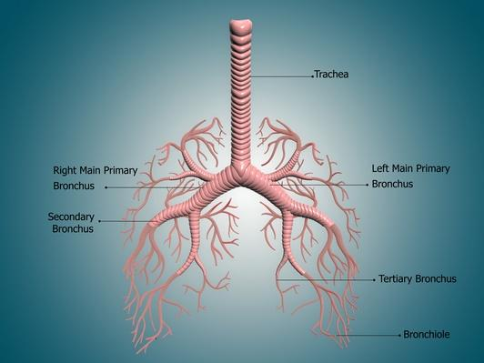Illustration of the Bronchus and Bronchial Tubes | Science and Technology