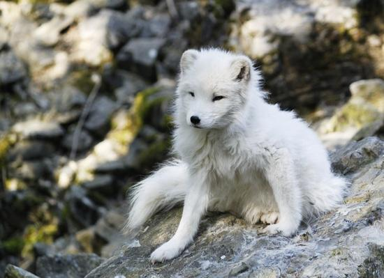 Arctic Fox | Animals, Habitats, and Ecosystems