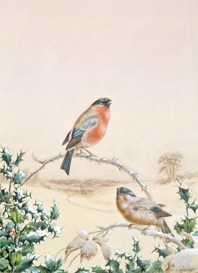 Winter scene with Chaffinch and Holly