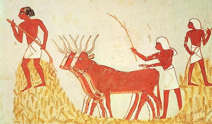 Using cows to trample wheat, from the Tomb of Menna, New Kingdom