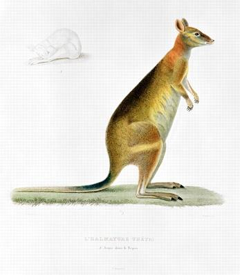 Kangaroo, engraved by Coutant