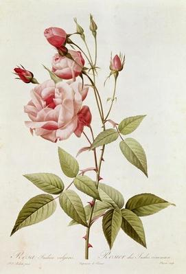 Rosa Indica Vulgaris, from 'Les Roses' by Claude Antoine Thory