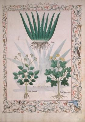 Ms Fr. Fv VI #1 fol.112 Aloe and Apio, illustration from 'The Book of Simple Medicines' by Matthaeus Platearius