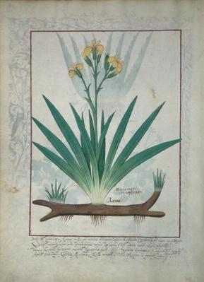 Ms Fr. Fv VI #1 fol.112v Abutilon Theophrasti, or Velvet Leaf, illustration from 'The Book of Simple Medicines' by Mattheaus Platearius
