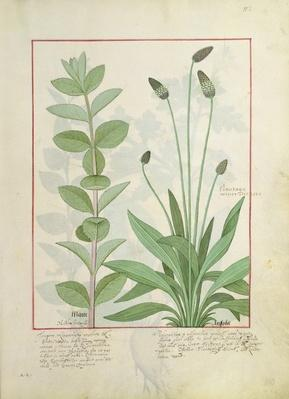 Ms Fr. Fv VI #1 fol.113 Mint and Plantain, or Ribwort, illustration from 'The Book of Simple Medicines' by Mattheaus Platearius