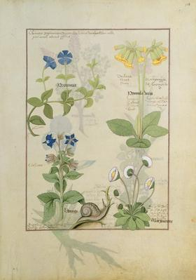 Ms Fr. Fv VI #1 fol.114 Top row: Blue Clematis or Crowfoot and Primula. Bottom row: Borage or Forget-me-not and Marguerita Daisy