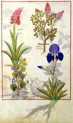 Ms Fr. Fv VI #1 fol.114v Top row: Orchid and Fumitory or Bleeding Heart. Bottom row: Hedera and Iris, illustration from 'The Book of Simple Medicines' by Mattheaus Platearius