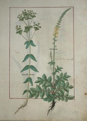Ms Fr. Fv VI #1 fol.115 Reveille Matin and Agrimonia, illustration from 'The Book of Simple Medicines' by Mattheaus Platearius
