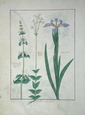 Ms Fr. Fv VI #1 fol.115v Lamium Album or White Dead Nettle, Melandryon, and Iris Minor, illustration from 'The Book of Simple Medicines' by Mattheaus Platearius