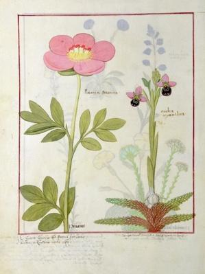 Ms Fr. Fol VI #1 Paeonia or Peony, and Orchis myanthos, illustration from 'The Book of Simple Medicines' by Mattheaus Platearius