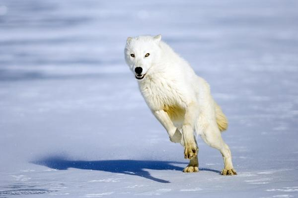 Arctic Wolf (Canus lupus) leaping on snow | Animals, Habitats, and Ecosystems
