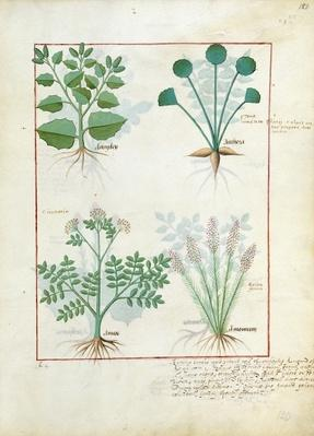 Ms Fr. Fv VI #1 fol.123r Top row: Salt Bush and Anthora. Bottom row: Absinthium and Cardamom, illustration from 'The Simple Book of Medicines' by Mattheaus Platearius
