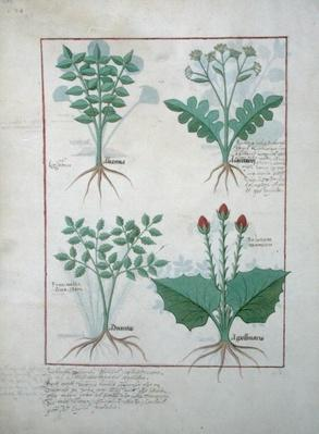 Ms Fr. Fv VI #1 fol.123v Top row: Ligustrum and Acanthus. Bottom row: Grass plant and Apollinaris, illustration from 'The Book of Simple Medicines', by Matthaeus Platearius