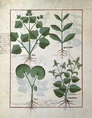 Ms Fr. Fv VI #1 fol.124v Top row: Marshmallow and Hastula Regia. Bottom row: Asarabacca and Speedwell, illustration from 'The Simple Book of Medicines' by Matteaus Platearius