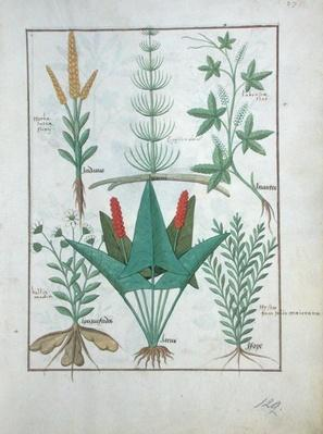 Ms Fr. Fv VI #1 fol.125r Top row: Maize, Equisetum and Labruscae flos. Bottom row: Daisy, Jarus and Marjoram, illustration from 'The Simple Book of Medicines', by Mattheaus Platearius