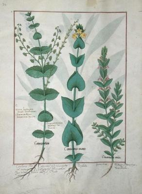 Ms Fr. Fv VI #1 fol.127v Chamaedrys, Common Centaury and Germander, illustration from 'The Book of Simple Medicines', by Mattheaus Platearius
