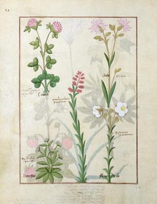 Ms Fr. Fv VI #1 fol.128v Top row: Red clover and Aube. Bottom row: Bellidis species, Onobrychis and Hyssopus nemorum, illustration from 'The Book of Simple Medicines', by Mattheaus Platearius