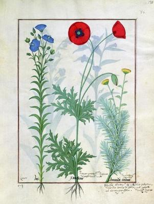 Ms Fr. Fv VI #1 fol.130r Linum, Garden poppies and Abrotanum, illustration from 'The Book of Simple Medicines', by Mattheaus Platearius