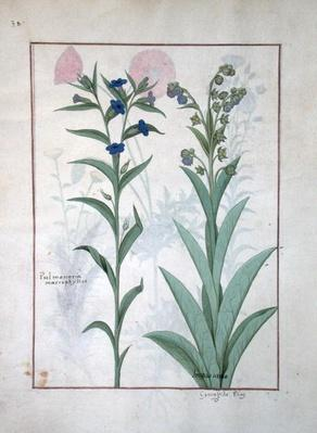 Ms Fr. Fv VI #1 fol.130v Pulmonaria and Lungwort, illustration from 'The Book of Simple Medicines', by Mattheaus Platearius