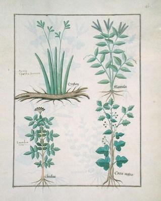Ms Fr. Fv VI #1 fol.132r Top row: Xyris and Spearwort. Bottom row: Common Elderberry and Hedera, illustration from 'The Book of Simple Medicines', by Mattheaus Platearius