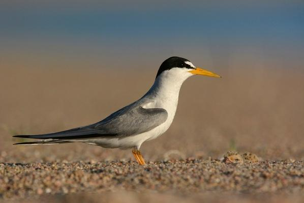 Photographs - Terns & Plovers