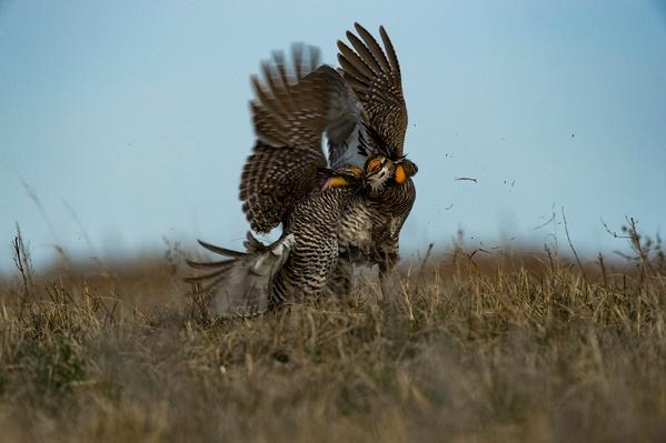 photograph of prairie chickens dancing