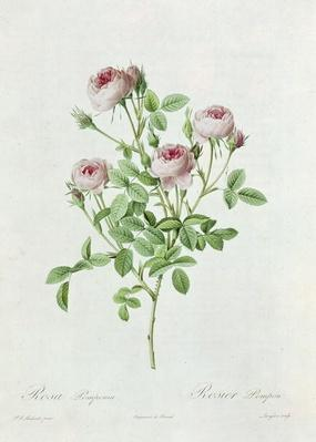 Rosa Pomponia, from 'Les Roses' by Claude Antoine Thory