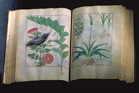 Ms Fr. Fv VI #1 Two pages depicting Rose and Garlic, from 'The Book of Simple Medicines' by Mattheus Platearius
