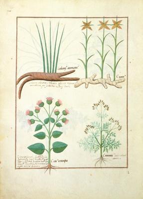 Ms Fr. Fv VI #1 fol.119v Cyperus, Calamus, Crocus ostensis, illustration from 'The Book of Simple Medicines' by Mattheaus Platearius