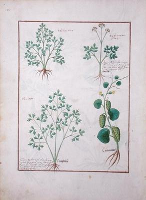 Ms Fr. Fv VI #1 fol.122v Top Row: Sage and Bupleurum, illustration from 'The Book of Simple Medicines' by Mattheaus Platearius