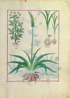 Ms Fr. Fv VI #1 fol.119r Garlic and other plants, illustration from 'The Book of Simple Medicines' by Mattheaus Platearius