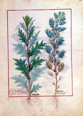 Ms Fr. Fv VI #1 fol.120r Two varieties of Artemesia, illustration from 'The Book of Simple Medicines' by Mattheaus Platearius