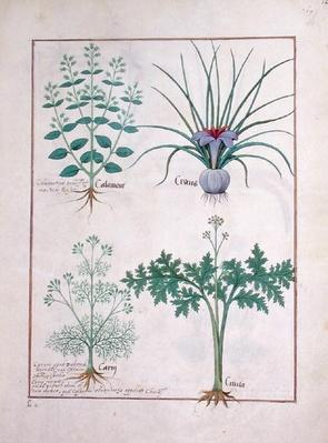 Ms Fr. Fv VI #1 fol.121r Calamint, Crocus, Carraway and Citusa, illustration from 'The Book of Simple Medicines' by Mattheaus Platearius