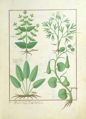 Ms Fr. Fv VI #1 fol.122r Euphorbia Lathyris, Beechwort, Mint and Fig, illustration from 'The Book of Simple Medicine' by Mattheaus Platearius