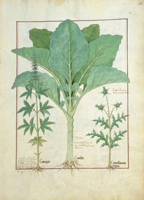 Ms Fr. Fv VI #1 fol.145r Cannabis, Brassica and Thistle, Illustration from the 'Book of Simple Medicines' by Mattheaus Platearius