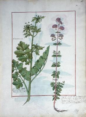 Ms Fr. Fv VI #1 fol.145r Illustration from the 'Book of Simple Medicines' by Mattheaus Platearius