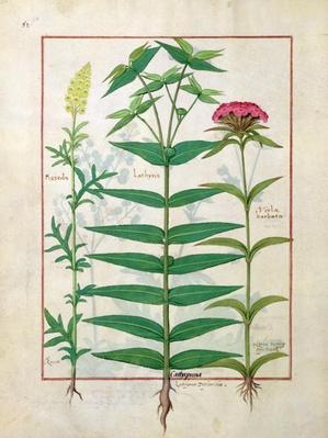Ms Fr. Fv VI #1 fol. Reseda, Euphorbia and Dianthus, Illustration from the 'Book of Simple Medicines' by Mattheaus Platearius