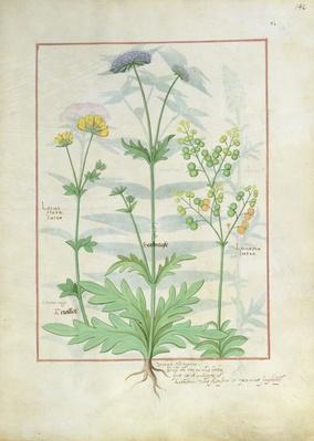 Ms Fr. Fv VI #1 fol.142r Illustration from the 'Book of Simple Medicines' by Mattheaus Platearius